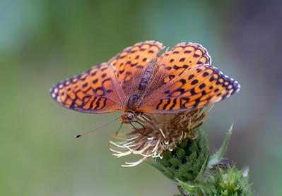 Atlantis Fritillary, Brushfoot Butterfly
