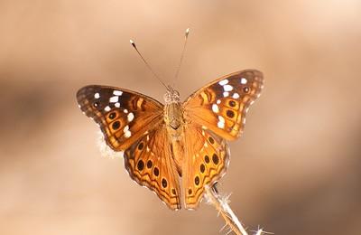Hackberry Emperor Brushfoot Butterfly