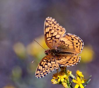 Atlantis Fritillary Brushfoot Butterfly