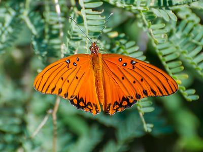 Brushfoot, Butterfly, Gulf Fritillary