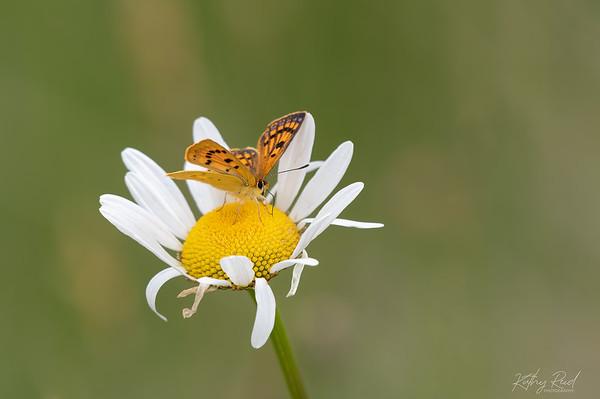 Common Copper Butterfly, female   (Lycaena salustius)