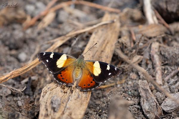 Yellow Admiral Butterfly  -  Vanessa itea