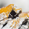 Magpie Moth - Nyctemera annulata
