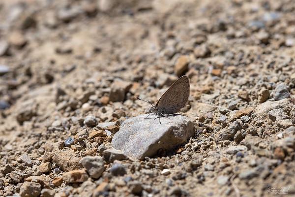 Common Grass Blue Butterfly  - Zizina labradus