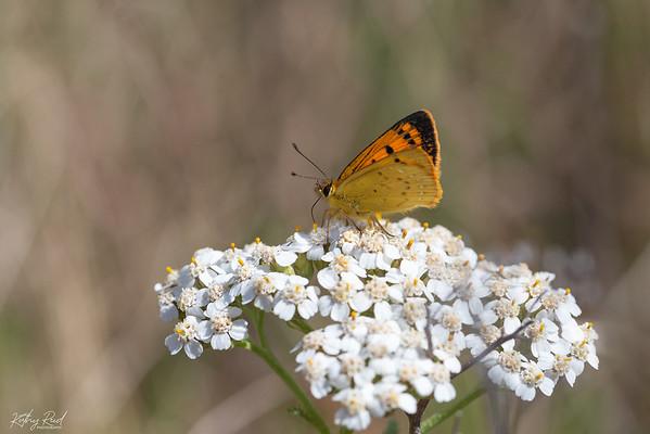 Common Copper (Lycaena salustius)
