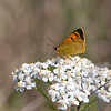 Common Copper (Lycaena salustius)