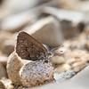 Canterbury Boulder Copper Butterfly, female  -  Lycaena boldenarum