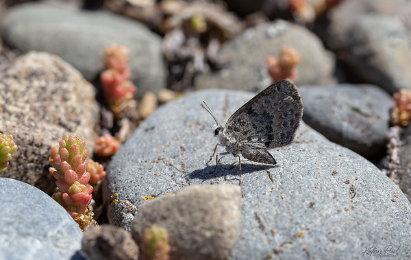 Canterbury Boulder Copper Butterfly, male  -  Lycaena boldenarum