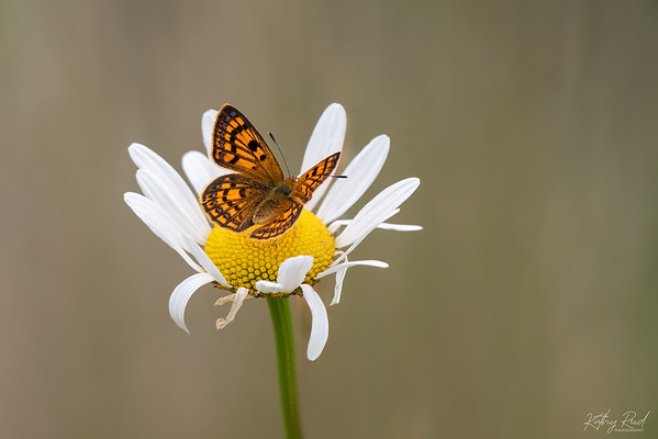 Common Copper Butterfly female   (Lycaena salustius)
