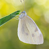 White Butterfly  -  Pieris rapae