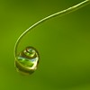 Droplet in a sweet pea tendril