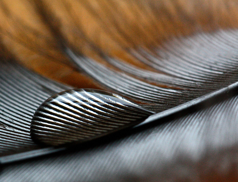 Water drop on a feather