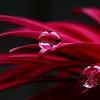 Gerbera petals with droplets
