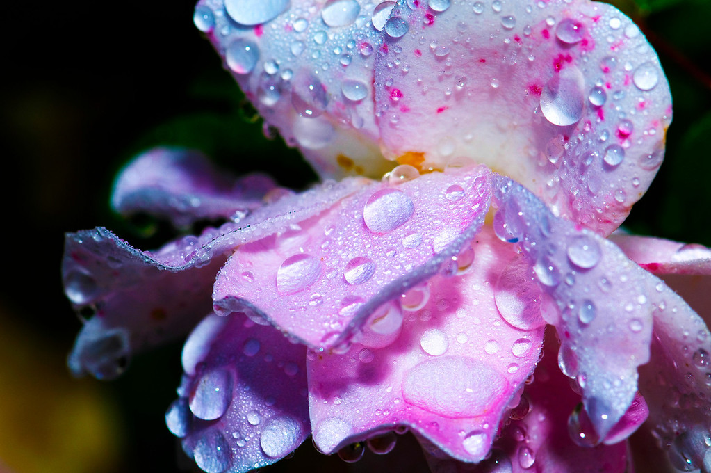 Rain Water Drops on Flower