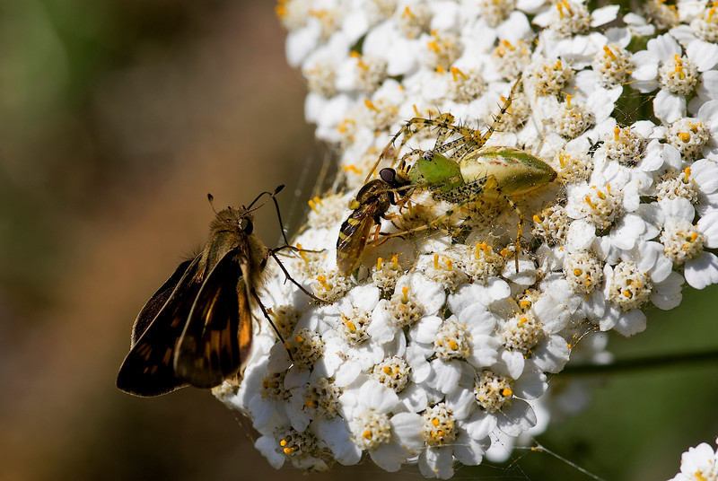 Fiery Skipper & Green Lynx Spider & American Hover Fly