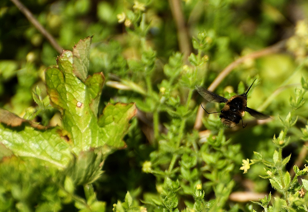 Black-Tailed Bee Fly
