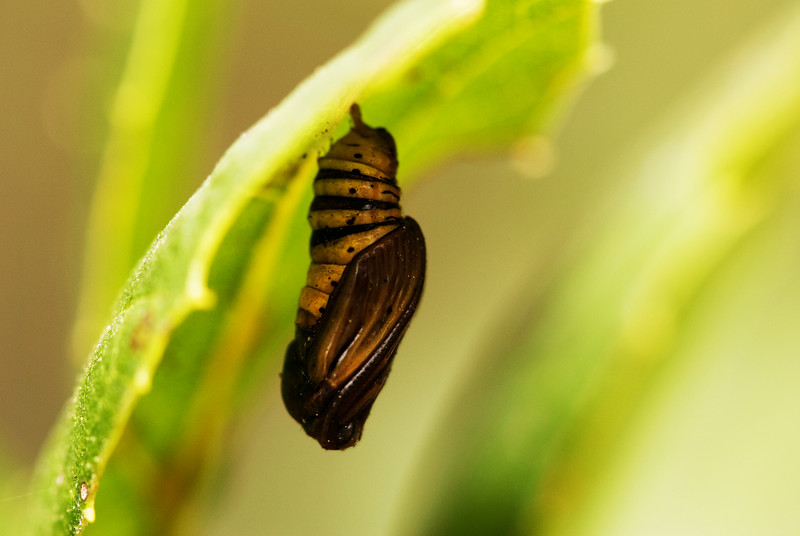 Later-stage Pupa, After Darkening