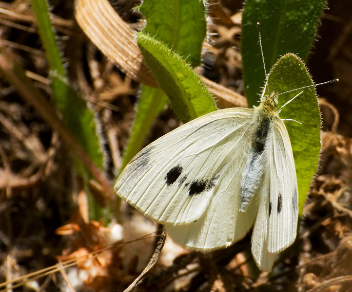Female Pieris Rapae