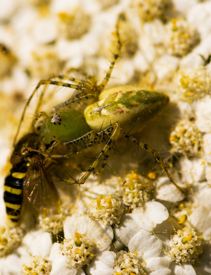 Green Lynx Spider Preying on American Hover Fly