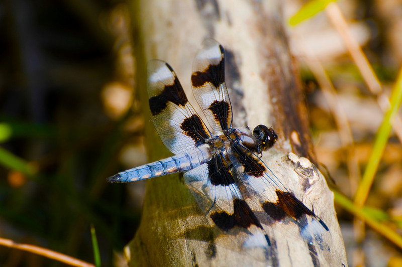 Male Eight-spotted Skimmer
