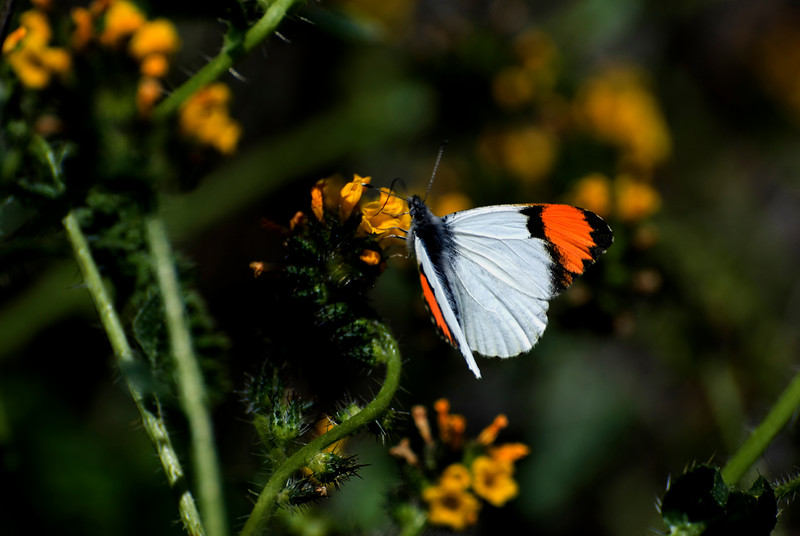 Male Sara Orange Tip Butterfly; Bush Monkey Flower Nectar
