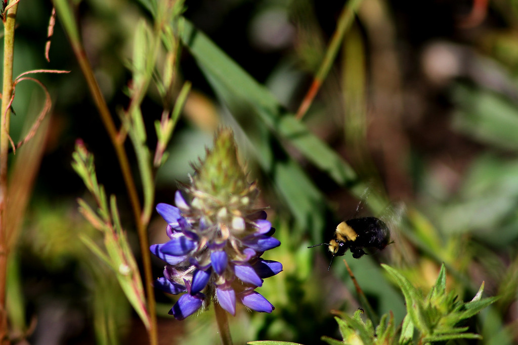 Bumble Bee on Wild Lupine