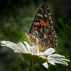 Butterfly on Daisy 1463