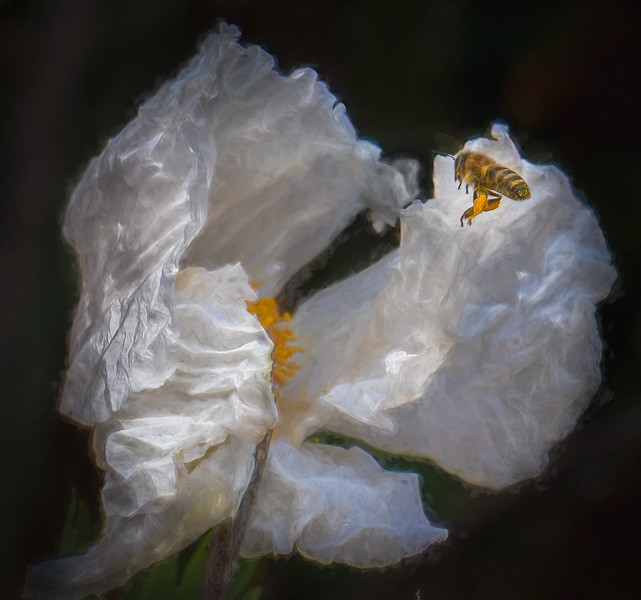 Bee & Flowing Matilija Poppy
