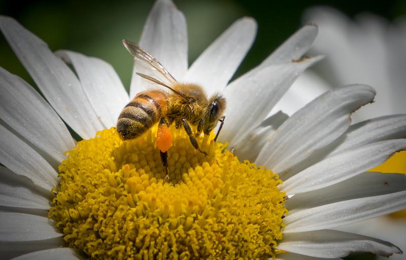Honey Bee & Pollen 1
