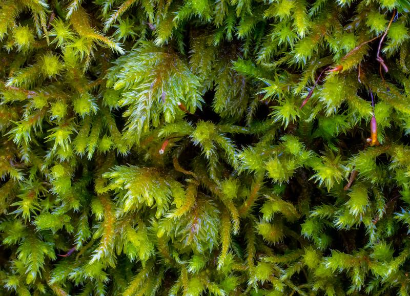 Tree Moss Closeup