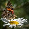 Butterfly on Daisy 1431