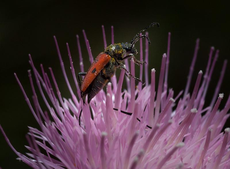 Beetle on Thistle 1335