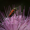 Beetle on Thistle 1335