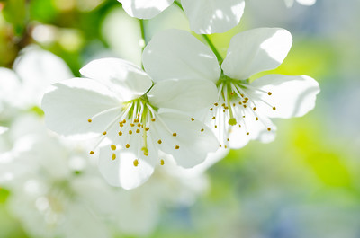 Airy cherry blossoms