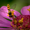 Yellow Wasp on Zinnia