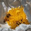 A Honey Bee at Work on a Matilija Poppy.