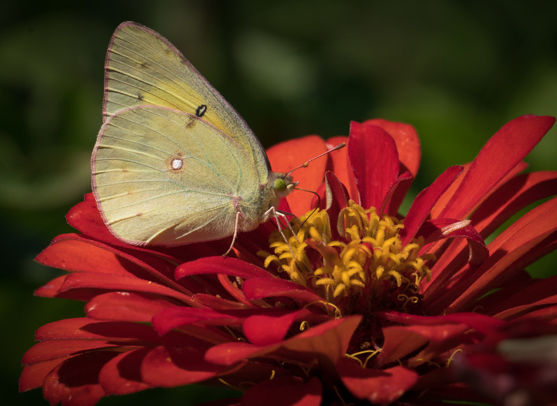 Butterfly on Zinnia 3534