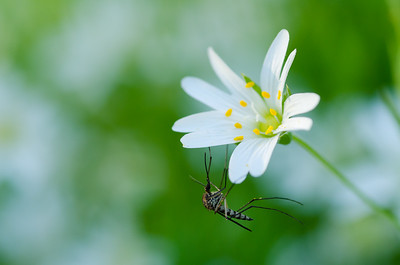 resting mosquito