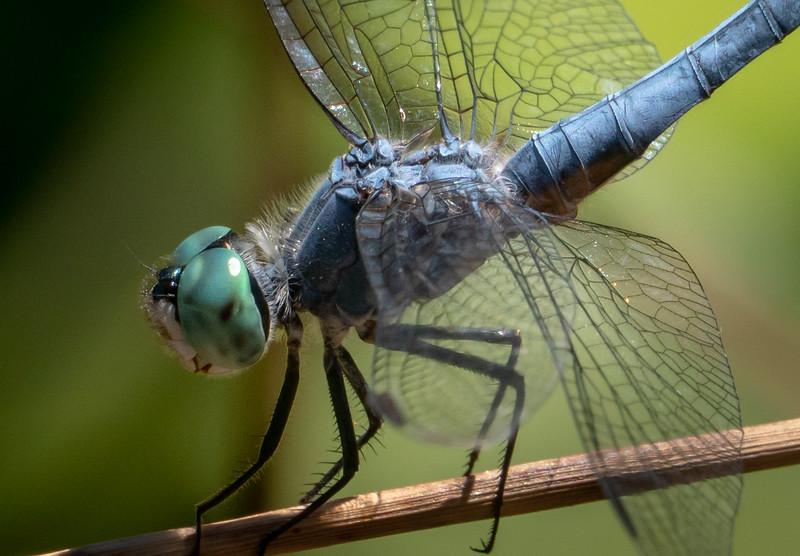 Dragonfly 2514-1