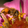 Honeybee on Zinnia 2916