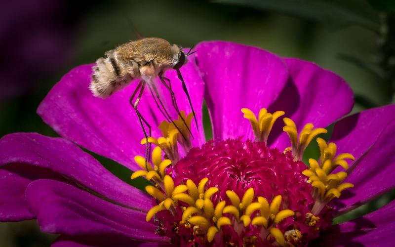 Gray Bee & Zinnia 3458