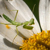 Praying Mantis on Daisy-3