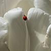 Tulip 9596