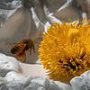 Honey Bee & Matilija Poppy