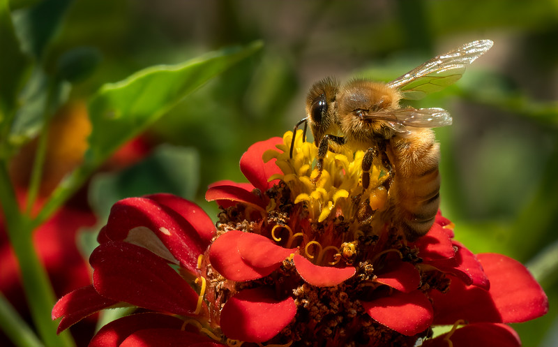Honey Bee on Zinnia