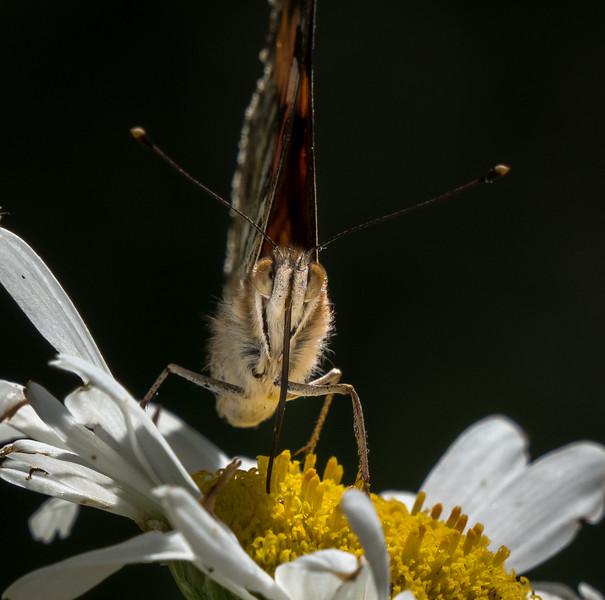 Butterfly on Daisy 1488