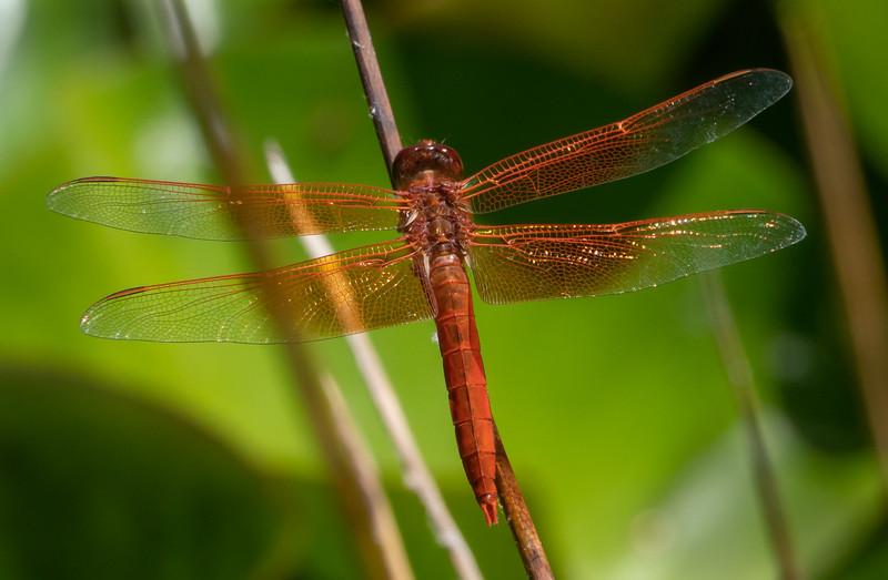 Dragonfly 2366