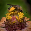 Bee on Zinnia 4149