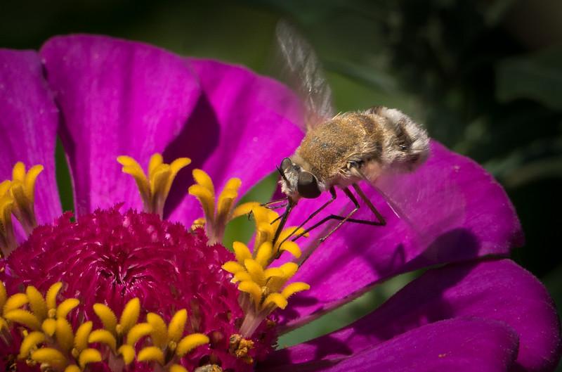 Bee Fly 3471