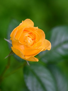YellowRoseMacro2020-3